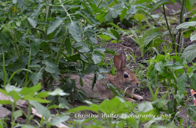 Wild rabbit, hare, bunny, garden