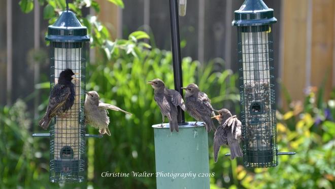 Starlings, Fledglings
