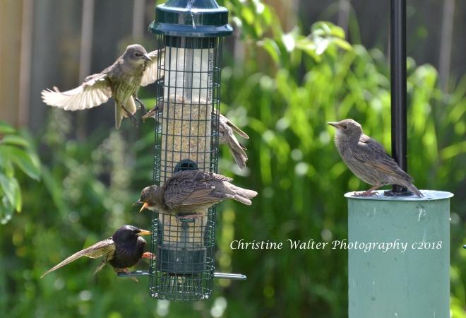 Starlings, bird feeders, fledglings.