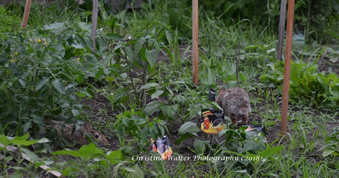 Wild rabbit, hare, bunnies, garden